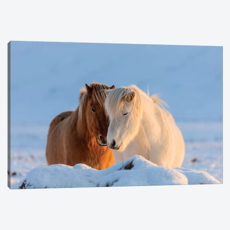 Icelandic horses in south Iceland II Canvas Print #UCK40} by Chuck Haney Canvas Art