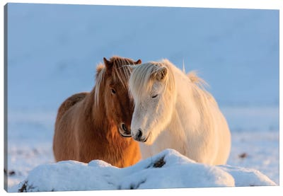 Icelandic horses in south Iceland II Canvas Art Print