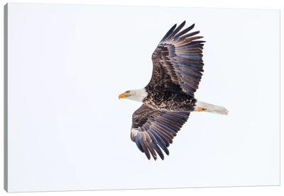 Mature bald eagle in flight at Ninepipe WMA, Ronan, Montana, USA Canvas Art Print