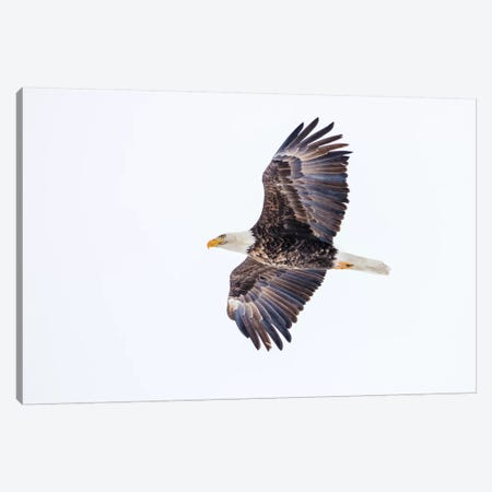 Mature bald eagle in flight at Ninepipe WMA, Ronan, Montana, USA Canvas Print #UCK42} by Chuck Haney Canvas Wall Art