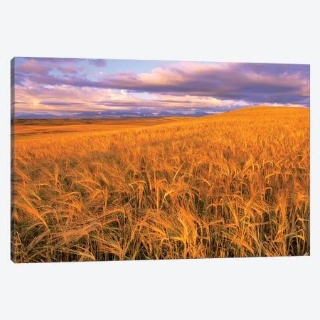 Barley Field, Dupuyer, Pondera County, Montana, USA Canvas Print #UCK4} by Chuck Haney Canvas Art Print