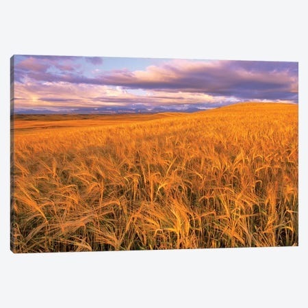 Barley Field, Dupuyer, Pondera County, Montana, USA Canvas Print #UCK4} by Chuck Haney Canvas Art Print