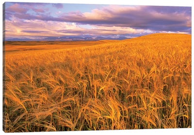 Barley Field, Dupuyer, Pondera County, Montana, USA Canvas Art Print