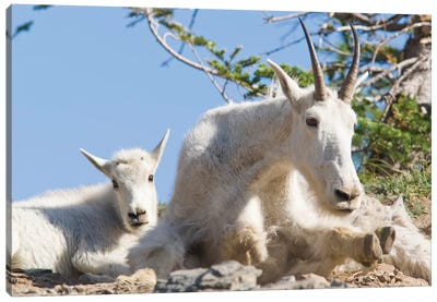 Mountain Goat Nanny With Kid In Glacier National Park In Montana Canvas Art Print