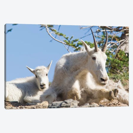Mountain Goat Nanny With Kid In Glacier National Park In Montana 3-Piece Canvas #UCK58} by Chuck Haney Canvas Art Print