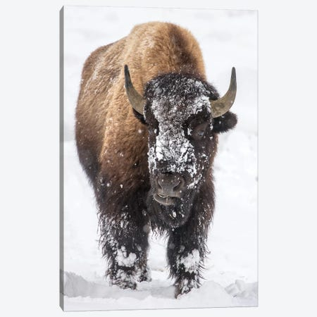 Bison bull with snowy face in Yellowstone National Park, Wyoming, USA Canvas Print #UCK60} by Chuck Haney Canvas Artwork
