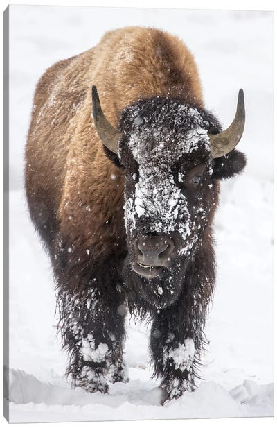 Bison bull with snowy face in Yellowstone National Park, Wyoming, USA Canvas Art Print