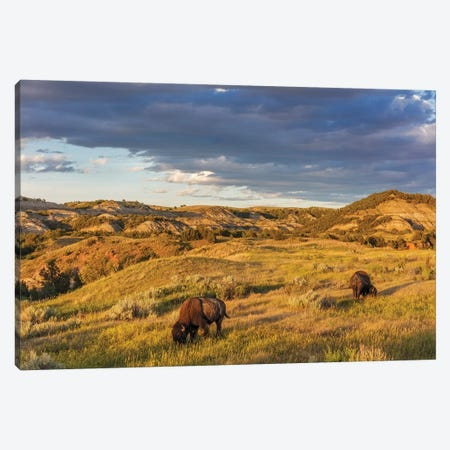Bison grazing in badlands in Theodore Roosevelt National Park, North Dakota, USA Canvas Print #UCK61} by Chuck Haney Canvas Artwork