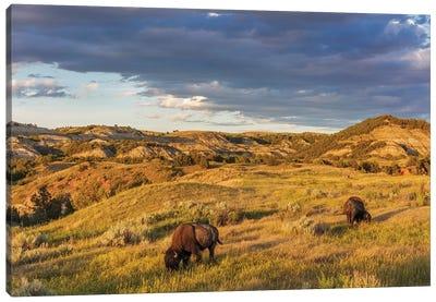 Bison grazing in badlands in Theodore Roosevelt National Park, North Dakota, USA Canvas Art Print