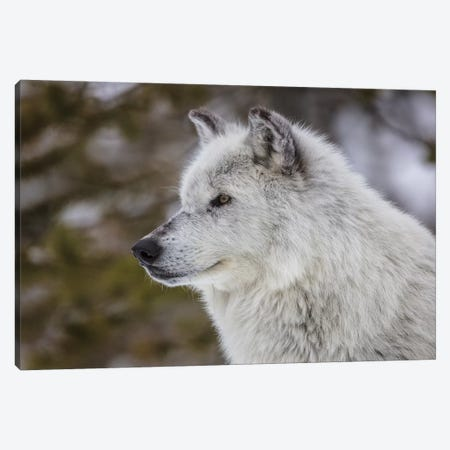 Captive gray wolf portrait at the Grizzly and Wolf Discovery Center in West Yellowstone, Montana Canvas Print #UCK62} by Chuck Haney Canvas Wall Art