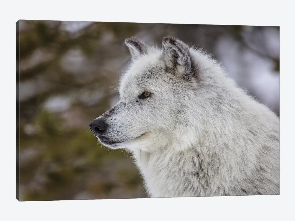 Captive gray wolf portrait at the Grizzly and Wolf Discovery Center in West Yellowstone, Montana by Chuck Haney 1-piece Canvas Wall Art