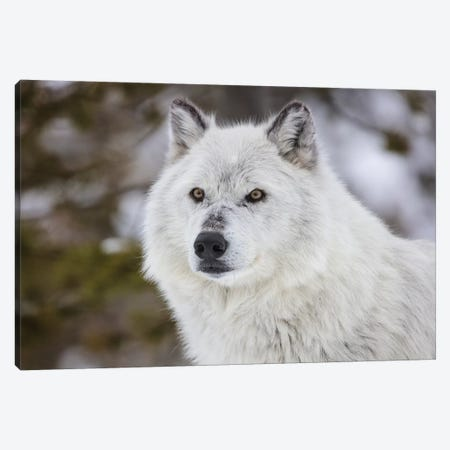 Captive gray wolf portrait at the Grizzly and Wolf Discovery Center in West Yellowstone, Montana Canvas Print #UCK63} by Chuck Haney Canvas Artwork