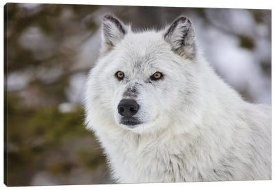 Captive gray wolf portrait at the Grizzly and Wolf Discovery Center in West Yellowstone, Montana Canvas Art Print