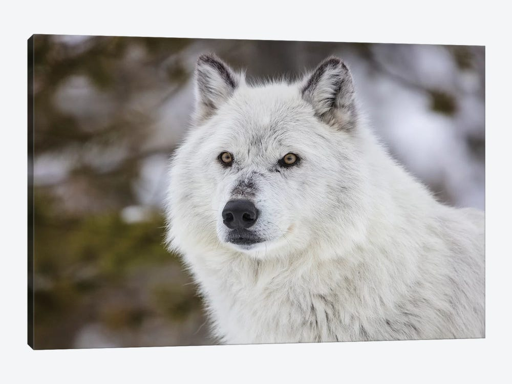 Captive gray wolf portrait at the Grizzly and Wolf Discovery Center in West Yellowstone, Montana by Chuck Haney 1-piece Art Print