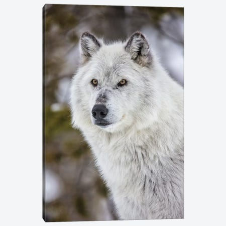 Captive gray wolf portrait at the Grizzly and Wolf Discovery Center in West Yellowstone, Montana Canvas Print #UCK64} by Chuck Haney Art Print