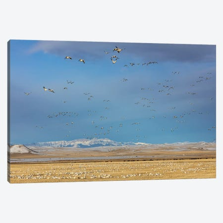Snow geese feeding in barley field stubble near Freezeout Lake Wildlife Management Area, Montana Canvas Print #UCK73} by Chuck Haney Art Print