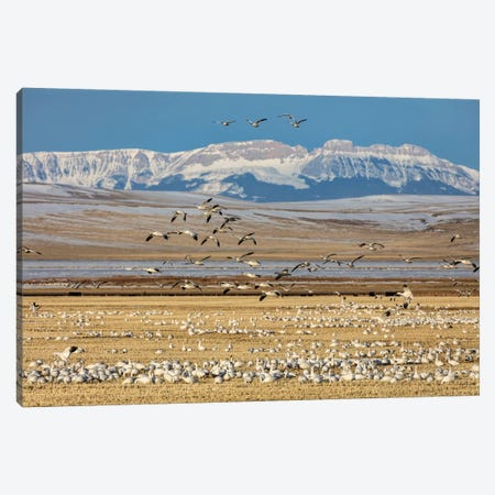 Snow geese feeding in barley field stubble near Freezeout Lake Wildlife Management Area, Montana Canvas Print #UCK74} by Chuck Haney Canvas Artwork