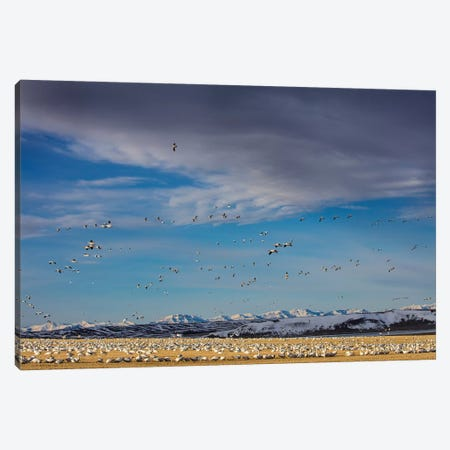 Snow geese feeding in barley field stubble near Freezeout Lake Wildlife Management Area, Montana Canvas Print #UCK75} by Chuck Haney Canvas Wall Art