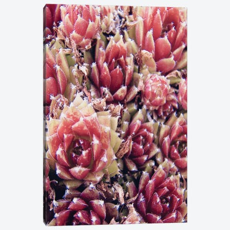 Red Succulents New Born I Canvas Print #URE190} by Urban Epiphany Canvas Print