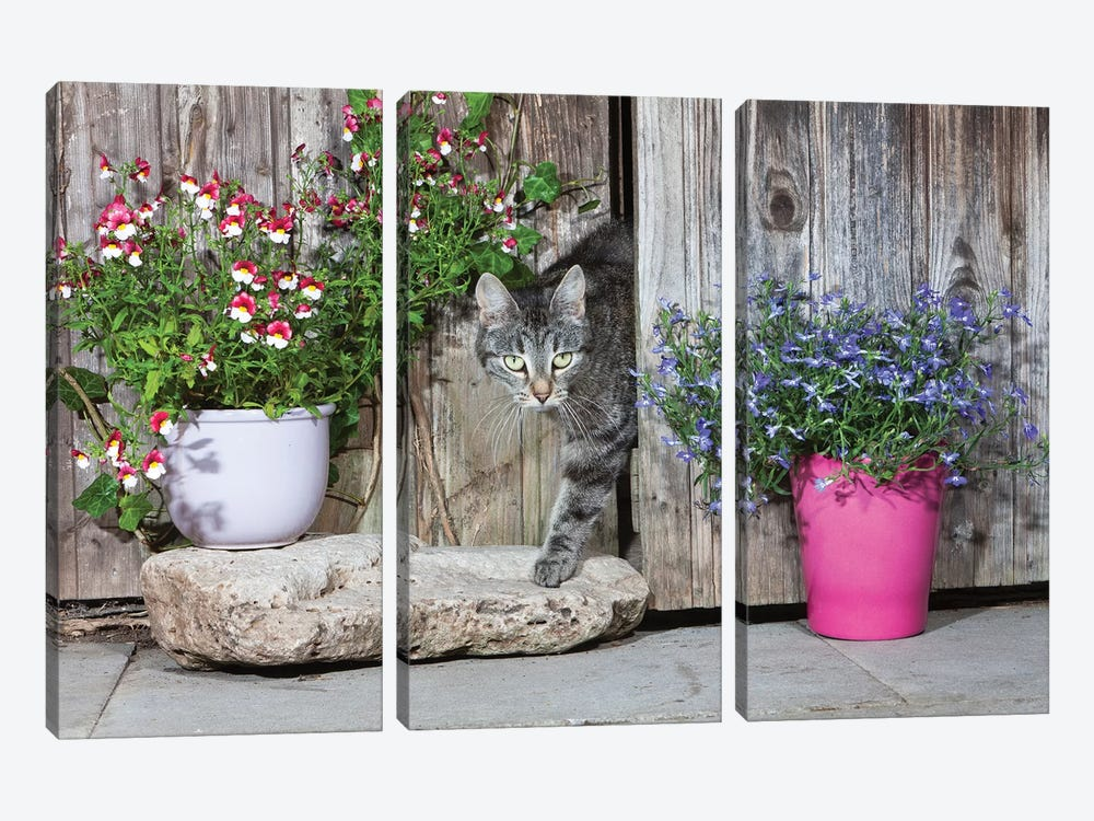 Domestic Cat Female Tabby Emerging From Shed, Lower Saxony, Germany by Duncan Usher 3-piece Canvas Print