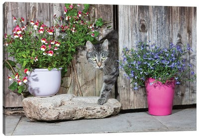 Domestic Cat Female Tabby Emerging From Shed, Lower Saxony, Germany Canvas Art Print