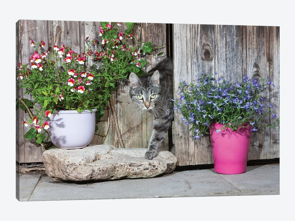 Domestic Cat Female Tabby Emerging From Shed, Lower Saxony, Germany by Duncan Usher 1-piece Art Print