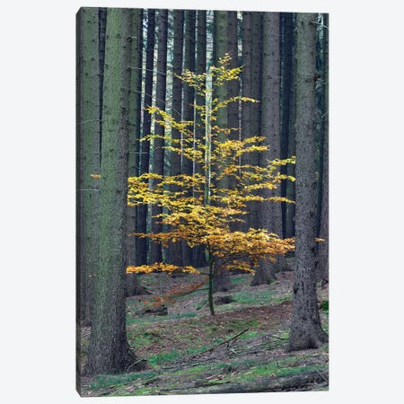 European Beech Tree In Norway Spruce Forest In Autumn, Germany Canvas Print #USH4} by Duncan Usher Canvas Art