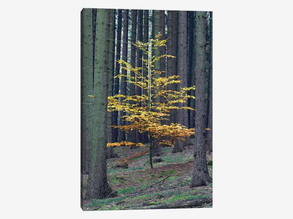 European Beech Tree In Norway Spruce Forest In Autumn, Germany by Duncan Usher 1-piece Canvas Wall Art