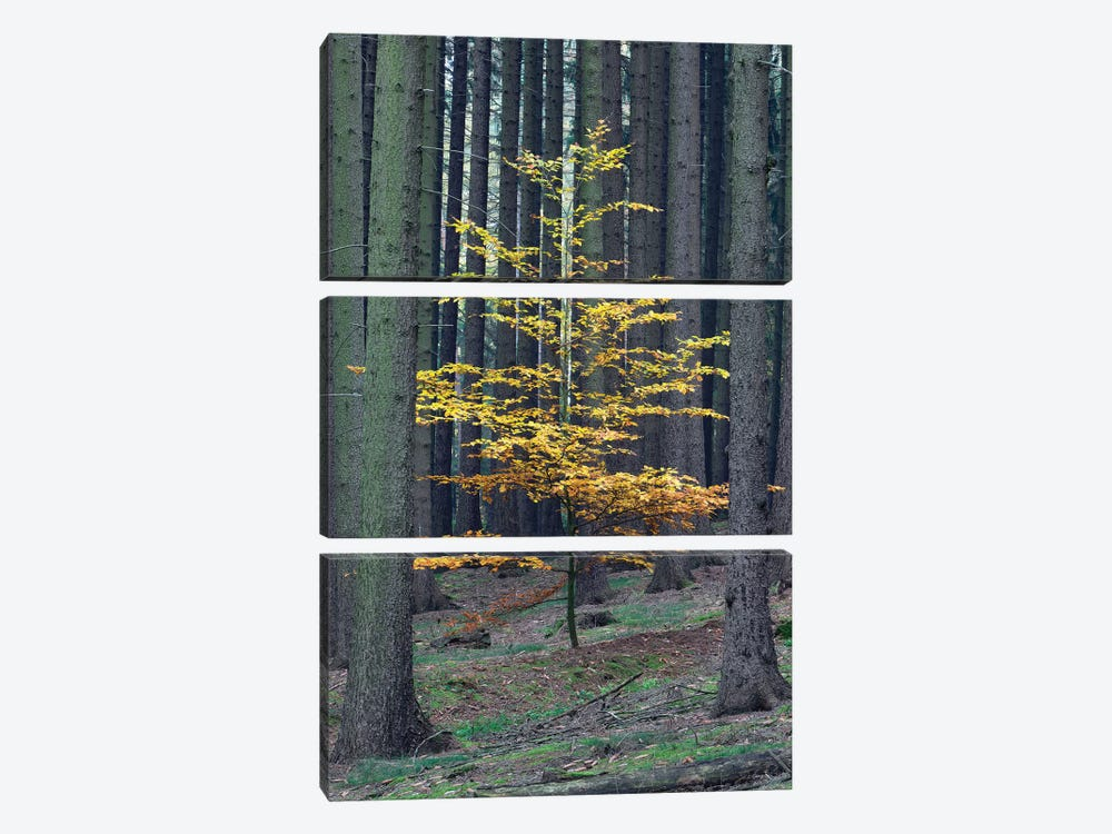 European Beech Tree In Norway Spruce Forest In Autumn, Germany by Duncan Usher 3-piece Canvas Artwork
