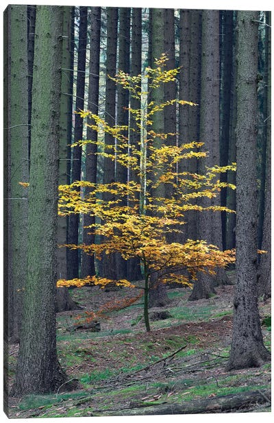 European Beech Tree In Norway Spruce Forest In Autumn, Germany Canvas Art Print