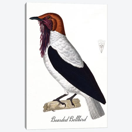 Bearded Bellbird Canvas Print #VAC1381} by Vintage Apple Collection Canvas Art
