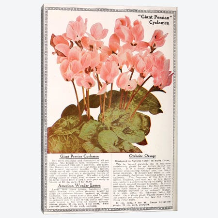 Giant Persian Cyclamen Canvas Print #VAC1638} by Vintage Apple Collection Canvas Wall Art