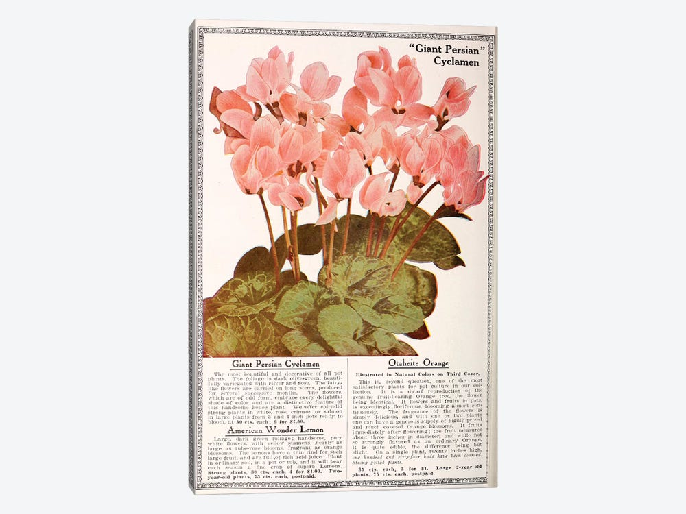 Giant Persian Cyclamen by Vintage Apple Collection 1-piece Canvas Art Print