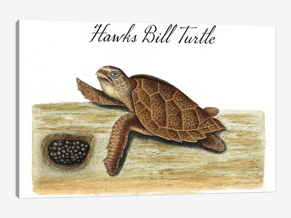 Hawksbill Turtle by Vintage Apple Collection 1-piece Canvas Art Print