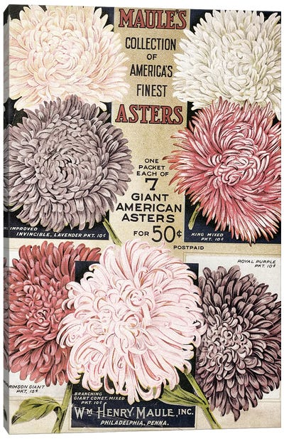 Maule's Asters, 1915 Canvas Art Print