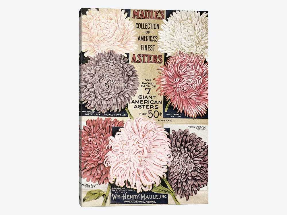 Maule's Asters, 1915 by Vintage Apple Collection 1-piece Canvas Art