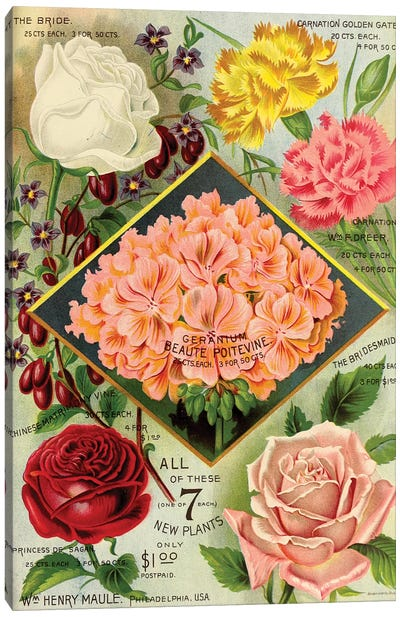 Maule's See Geraniums, 1893 Canvas Art Print