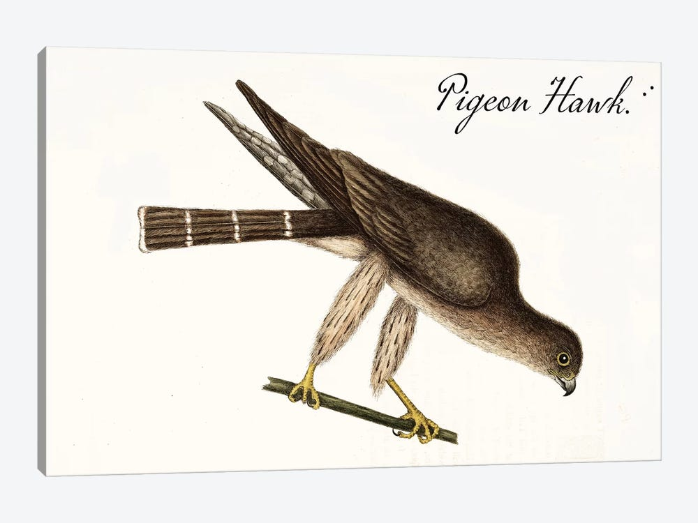 Pigeon Hawk by Vintage Apple Collection 1-piece Canvas Wall Art
