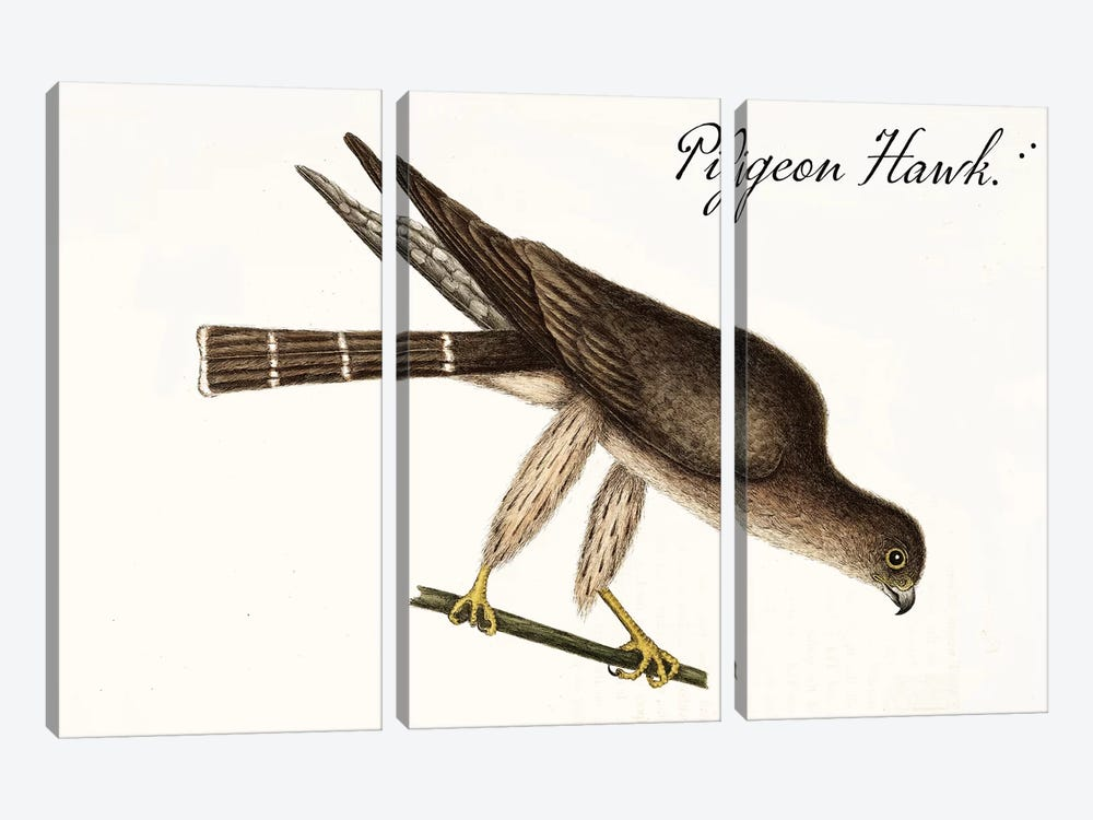 Pigeon Hawk by Vintage Apple Collection 3-piece Canvas Wall Art