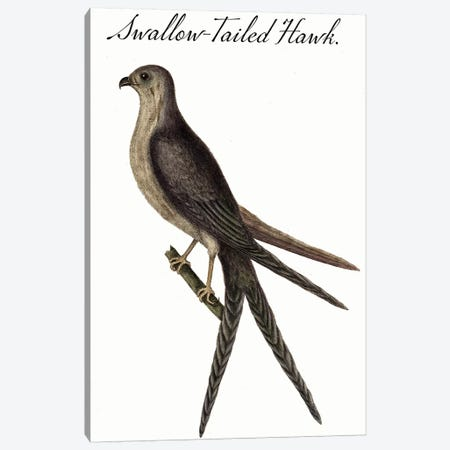 Swallow-Tailed Hawk Canvas Print #VAC2042} by Vintage Apple Collection Canvas Print