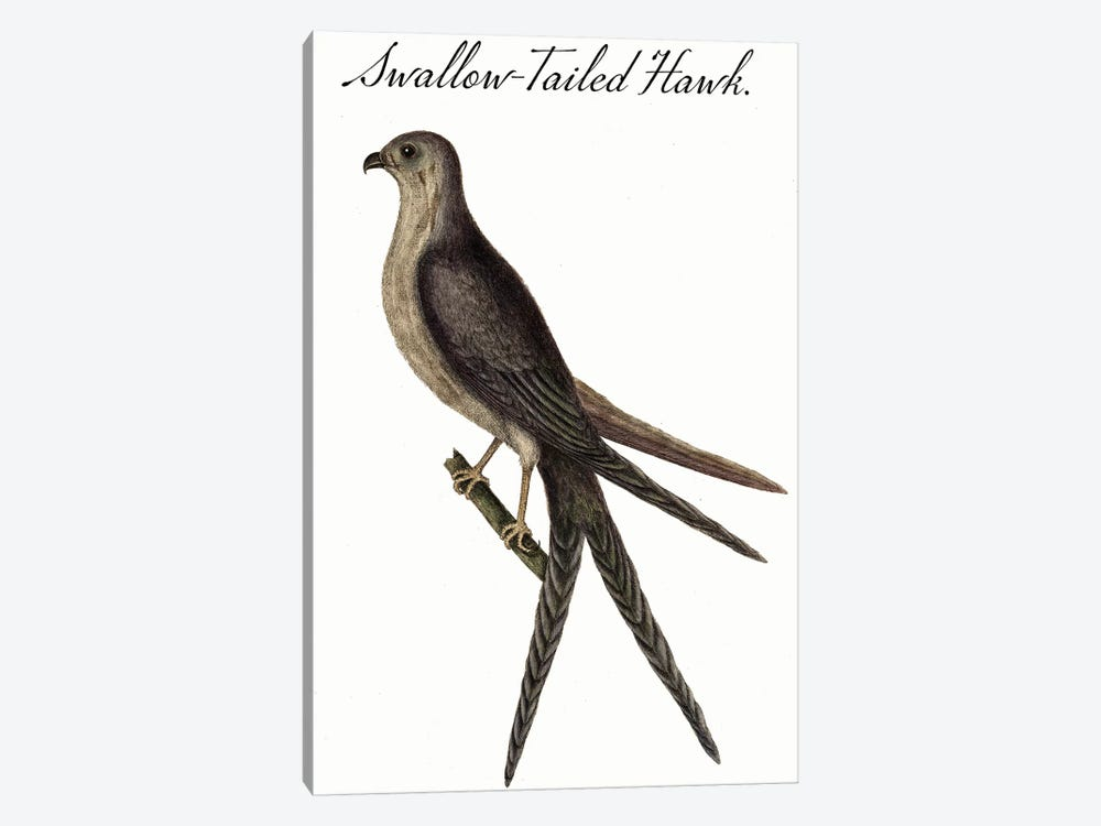 Swallow-Tailed Hawk by Vintage Apple Collection 1-piece Canvas Artwork