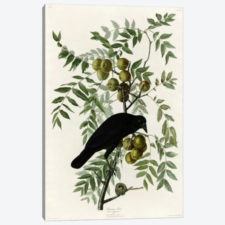American Crow Canvas Print #VAC280} by Vintage Apple Collection Canvas Art Print