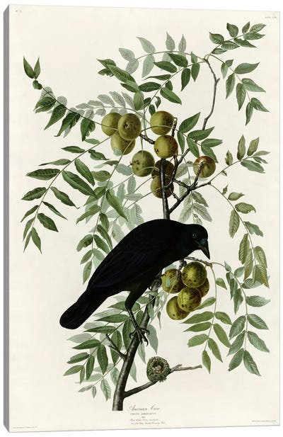 American Crow Canvas Print #VAC280