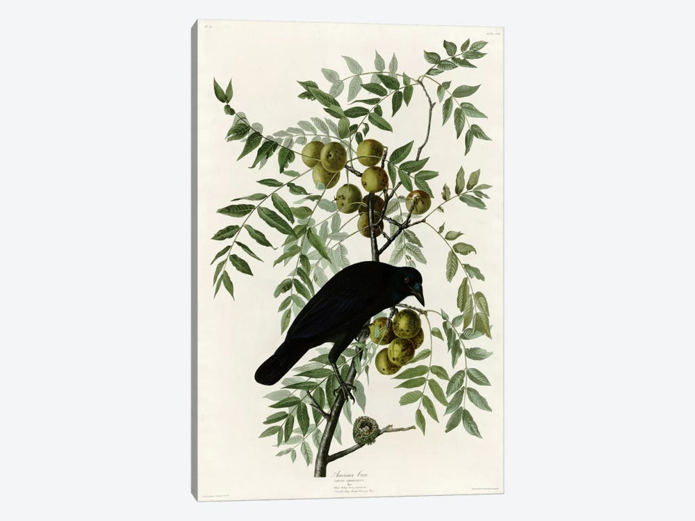 American Crow by Vintage Apple Collection 1-piece Canvas Print