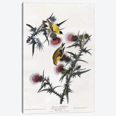 American Goldfinch Canvas Print #VAC281} by Vintage Apple Collection Canvas Art Print