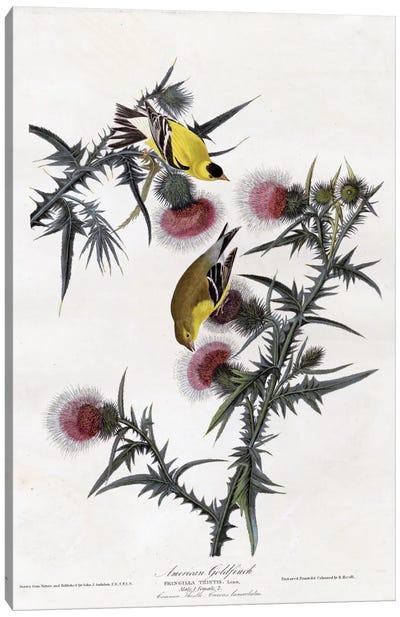 American Goldfinch Canvas Print #VAC281