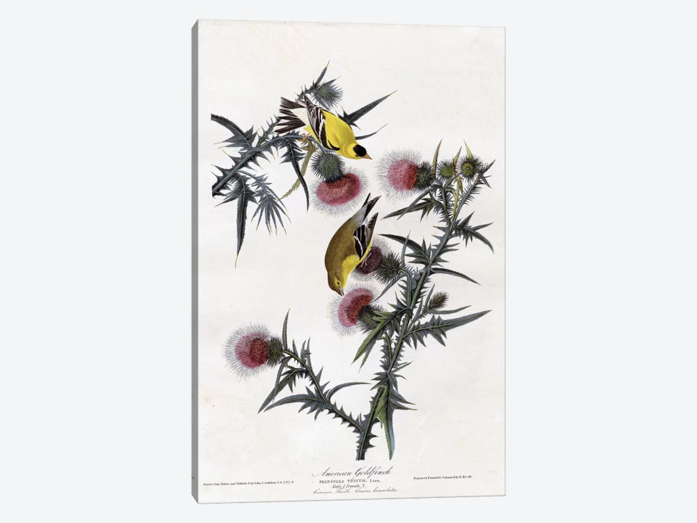 American Goldfinch by Vintage Apple Collection 1-piece Canvas Art