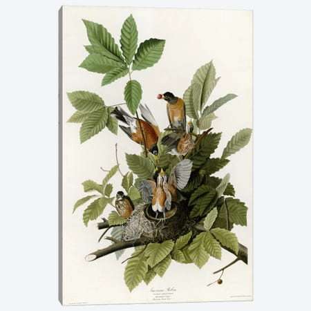 American Robin Canvas Print #VAC282} by Vintage Apple Collection Canvas Print