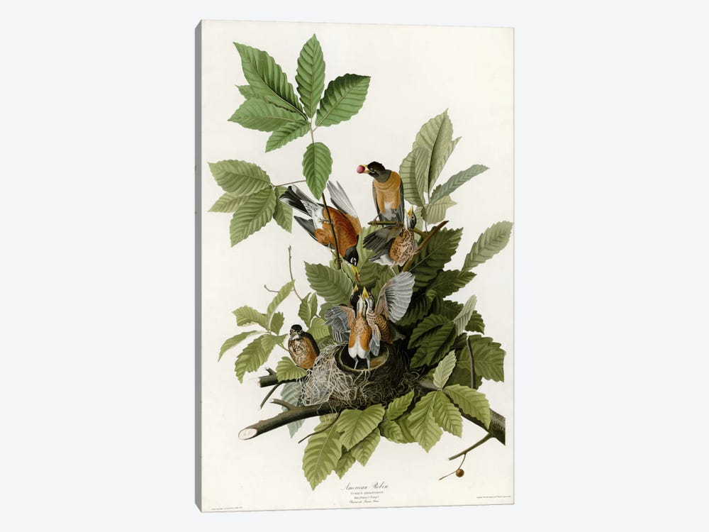 American Robin by Vintage Apple Collection 1-piece Canvas Print