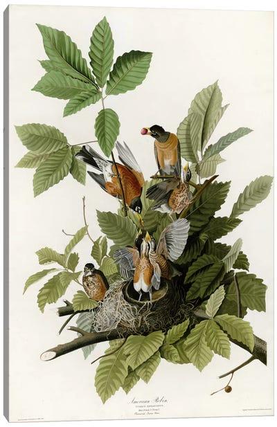 American Robin Canvas Art Print
